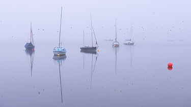 Swallows flying past boats on a foggy morning on Wimbleball Lake, Exmoor, Somerset, England, UK. September 2013.
