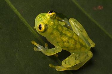 Reticulated glass frog (Hyalinobatrachium valerioi) Osa Peninsula, Costa Rica