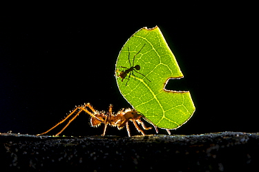 Leaf-cutter ant (Atta cephalotes) carrying pieces of leaf that they have harvested back to their underground fungus garden in their nest, Osa Peninsula, Costa Rica