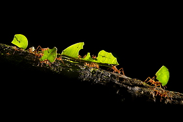 Leaf-cutter ants (Atta cephalotes) carrying pieces of leaf that they have harvested back to their underground fungus garden in their nest, Osa Peninsula, Costa Rica