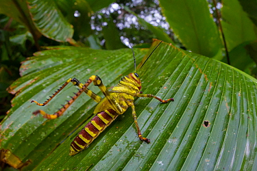 Giant grasshopper (Tropidacris cristata) subadult, Corcovado National Park, Osa Peninsula, Costa Rica