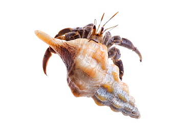 Ecuador / Pacific hermit crab (Coenobita compressus) photographed on a white background in mobile field studio, Corcovado National Park, Osa Peninsula, Costa Rica