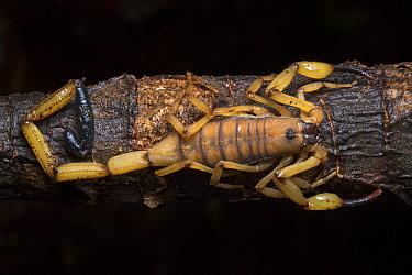 Bark scorpion (Centruroides limbatus) Central Caribbean foothills, Costa Rica