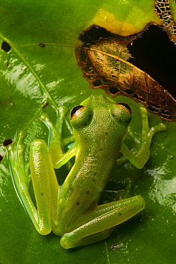 Emerald glass frog (Centrolenella prosoblepon) male, Osa Peninsula, Costa Rica
