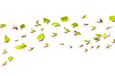 Leaf-cutter ants (Atta cephalotes) carrying pieces of leaf that they have harvested back to their underground fungus garden in their nest, Osa Peninsula, Costa Rica. Photographed in mobile field studi...