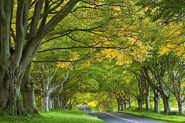 Beech Avenue in Kingston Lacy on the road near Badbury Rings, Dorset, England, UK. May 2014.