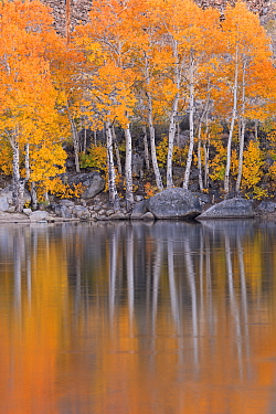 Golden autumn foliage and reflection on shores of Intake 2 lake in Eastern Sierra, Near Bishop, California, USA. October 2014.