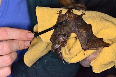Brown long-eared bat pup (Plecotus auritus) being groomed with a small brush as it eats a waxworm, North Devon Bat Care, Barnstaple, Devon, UK, August. Model released