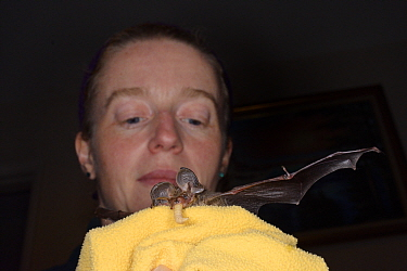 Samantha Pickering holds a rescued, abandoned Brown long-eared bat pup (Plecotus auritus) as it eats a waxworm she has fed it, North Devon Bat Care, Barnstaple, Devon, UK, August. Model released.