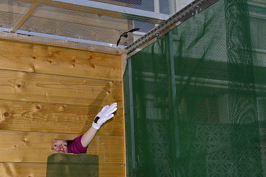 Samantha Pickering releasing young Common pipistrelle bats (Pipistrellus pipistrellus) she has reared  since their rescue as pups into a flight cage at dusk, North Devon Bat Care, Barnstaple, Devon, U...
