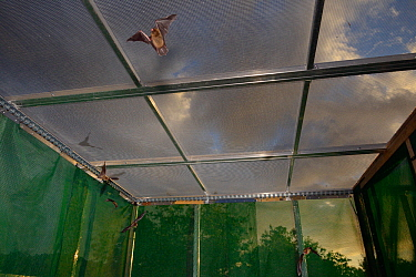 Young Common pipistrelle bats (Pipistrellus pipistrellus) reared in captivity since their rescue as pups, learning to fly and hunt in a flight cage at dusk before being released, North Devon Bat Care,...