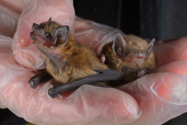 Rescued abandoned Common pipistrelle bat pup (Pipistrellus pipistrellus) held alongside a paler Soprano pipistrelle pup (Pipistellus pygmaeus), North Devon Bat Care, Barnstaple, Devon, UK, August. Mod...