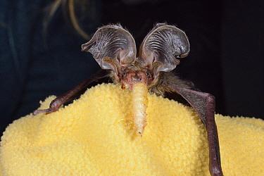 Rescued, abandoned Brown long-eared bat pup (Plecotus auritus) eating a waxworm, North Devon Bat Care, Barnstaple, Devon, UK, August. Model released