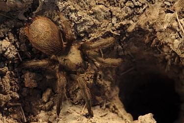 Brown tarantula (Aphonopelma sp) next to its burrow, South Texas, USA, April.