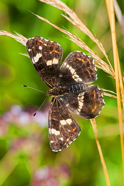 Map Butterfly (Araschnia levana f. prorsa), second brood, Bavaria, Germany, July.
