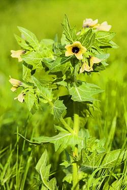 Henbane (Hyoscyamus niger) in flower, Yerevan, Armenia