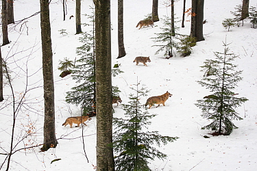 Wolf (Canis lupus) pack running in deep snow, captive in enclosure of the Bavarian Forest National Park, Germany, February