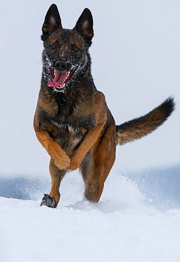 A Malinois / Belgian Shepherd police dog 'Mia' owned by German police officer and dog handler, playing in the snow.  Germany