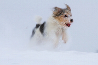 'Jogi', a Jack Russell Terrier cross breed, male playing in the snow.  Germany