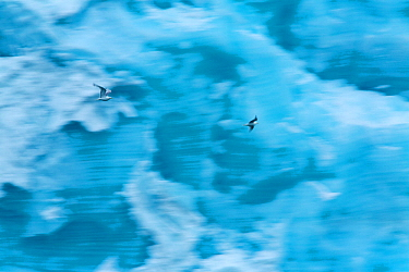 Kittiwakes (Rissa tridactyla) flying in front of ice wall of Brasvellbreen glacier, Austfonna, Nordaustlandet, Svalbard, Norway, July