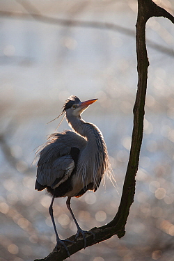 Grey heron (Ardea cinerea) adult in breeding plumage, perched on branch, backlight, showing threat display posture, Berlin Zoological Garden, Berlin Zoo, Germany. February.