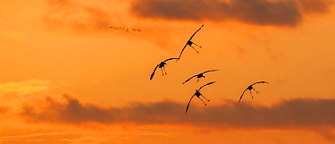 Common cranes (Grus grus) in flight at sunset, at a roost site managed by the NABU (Nature and Biodiversity Conservation Union) close to Linum just 40 km outside Berlin. October, Rhinluch,  Brandenburg, Germany.
