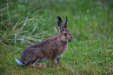 Common European hare (Lepus europaeus) on the sand dunes of the Island of Sylt, Wadden Sea National Park, UNESCO World Heritage Site, Germany, June.