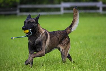 Young Belgian Shepherd police dog playing, Germany, July.