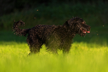Giant Schnauzer x Hovawart puppy with wet fur, Germany, September.