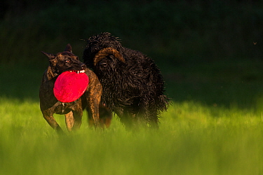 Dutch shepherd and Malinois herder cross playing with Giant Schnauzer and Hovawart cross dog, Germany, September.