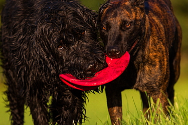 Giant Schnauzer x Hovawart dog and Maliois Herder x Dutch shepherd playing tug of war with Frisbee, Germany, September.