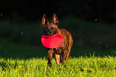 Dutch shepherd and Malinois Herder crossbreed playing with frisbee, Germany, September.