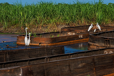Sugarcane barges (punts) with various Egrets, Wales, Georgetown, Guyana, South America