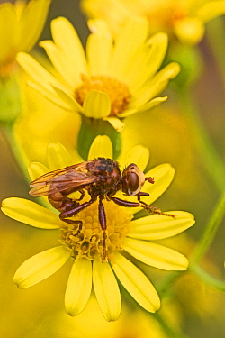 Thick-headed fly  (Sicus ferrugineus) on Ragwort  Grooming  Brockley Cemetery, Lewisham, London, UK.  August