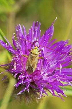 Common green capsid bug  (Lycogoris pabulinus)  n black knapweed,  Sutcliffe Park Nature Reserve, London, UK.  August