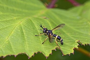 Thick-headed fly  (Conops ceriaeformis) female, Brockley Cemetery, Lewisham, London, UK.  August