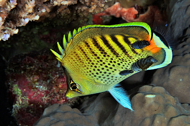 Spotband / Spot-banded butterflyfish (Chaetodon punctatofasciatus) with three isopod parasites, Palau, Philippine Sea.