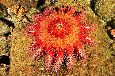 Crown-of-thorns starfish (Acanthaster planci) eating the coral, an invasive species that damages coral reefs, Panama, Pacific Ocean