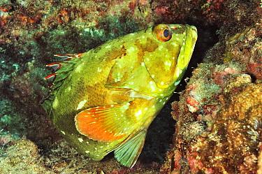 Starry grouper / flag cabrilla (Epinephelus labriformis) Panama, Pacific Ocean