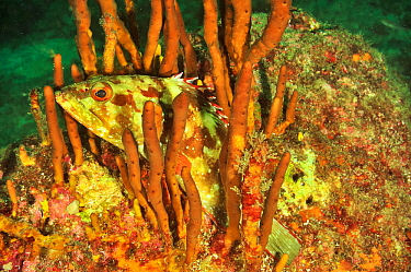 Starry grouper / Flag cabrilla (Epinephelus labriformis) hiding in a sponge, Panama, Pacific Ocean