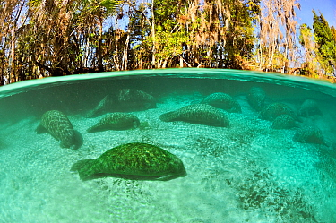 West Indian manatees (Trichechus manatus latirostris) group sleeping in the more temperate springs of Three Sisters Springs, Crystal River, Florida, USA