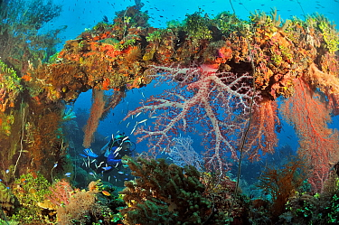 A diver on the wreck of the Shinkoku Maru, a tanker colonized by corals, sponges and other invertebrates, Chuuk / Truk Lagoon, Carolines Islands, Pacific Ocean