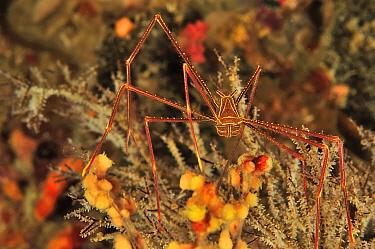 Arrow crab (Chirostylus dolichopus) Sulu Sea, Philippines
