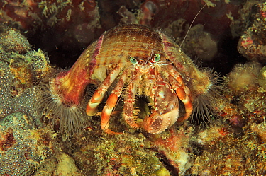 Coral hermit crab (Dardanus pedunculatus) with sea anemones on shell, Sulu Sea, Philippines