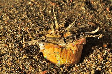 Bobbit worm (Eunice aphroditois) half out burrow, Sulu Sea, Philippines