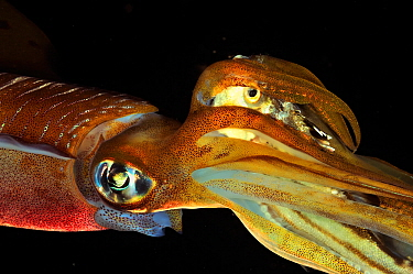 Bigfin reef squid (Sepioteuthis lessoniana) which has just caught a fish that it holds in its tentacles before eating it, Philippines, Sulu Sea