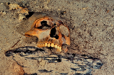 Mayan skull, possibly result of human sacrifice to the gods that the Maya culture made and then threw in cenote, Prehispanic Era, Punta Laguna Cenote, Yucatan peninsula, Mexico