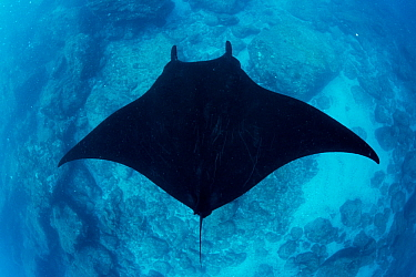 Giant manta ray (Manta birostris) seen from above, Revillagigedo Archipelago Biosphere Reserve, Socorro Islands, Western Mexico