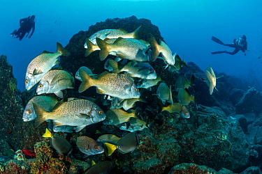 Burrito grunt (Anisotremus interruptus) and scuba divers, Revillagigedo Archipelago Biosphere Reserve, Socorro Islands, Western Mexico
