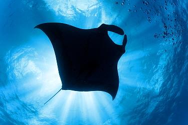 Giant manta ray (Manta birostris) seen from below, El Boiler dive place, San Benedicto Island, Revillagigedo Archipelago Biosphere Reserve, Socorro Islands, Western Mexico